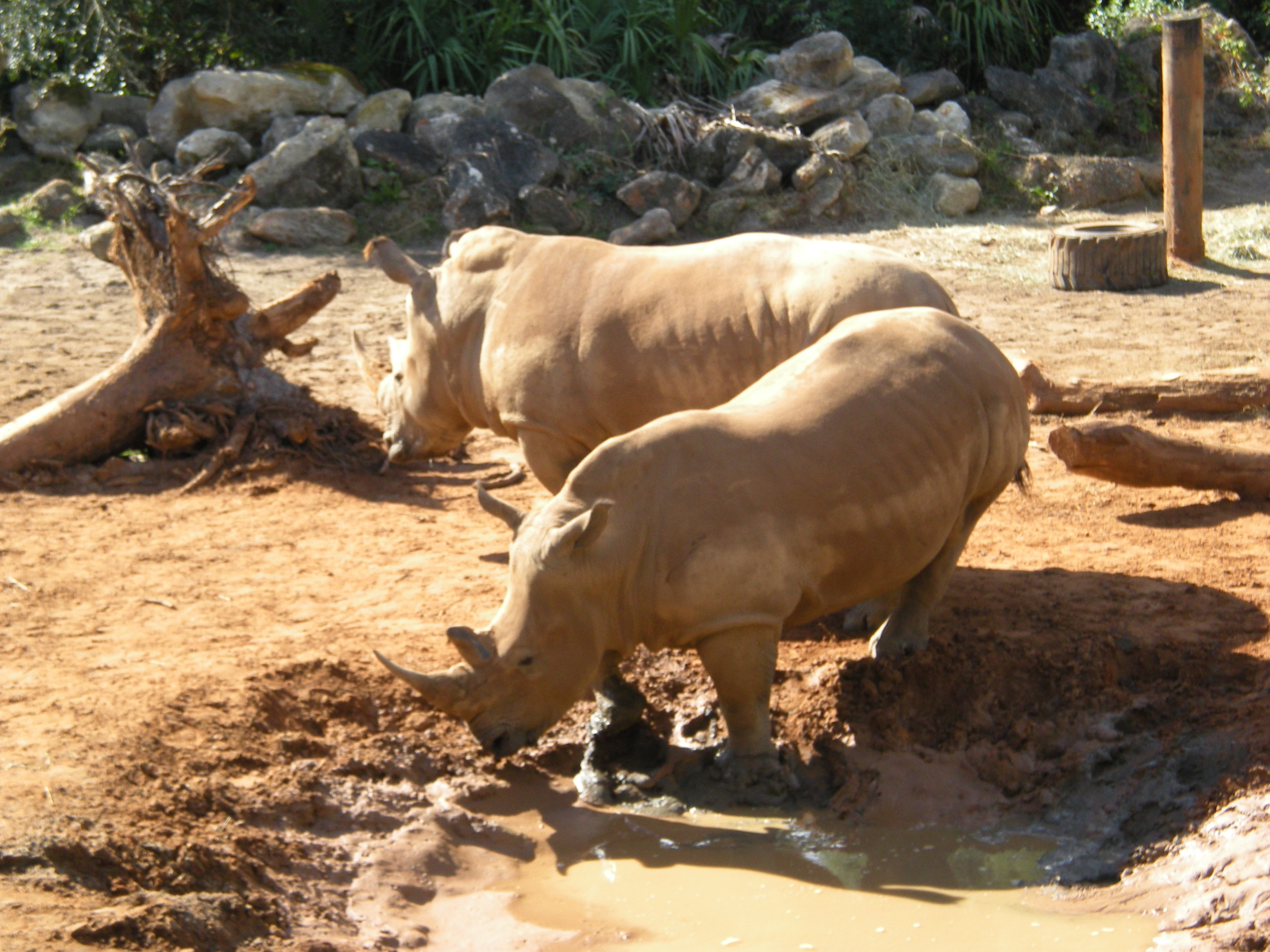 file white rhino brevard zoo 01 jpg wikimedia commons