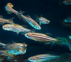 https://upload.wikimedia.org/wikipedia/commons/c/cb/Zebrafish_image.jpg