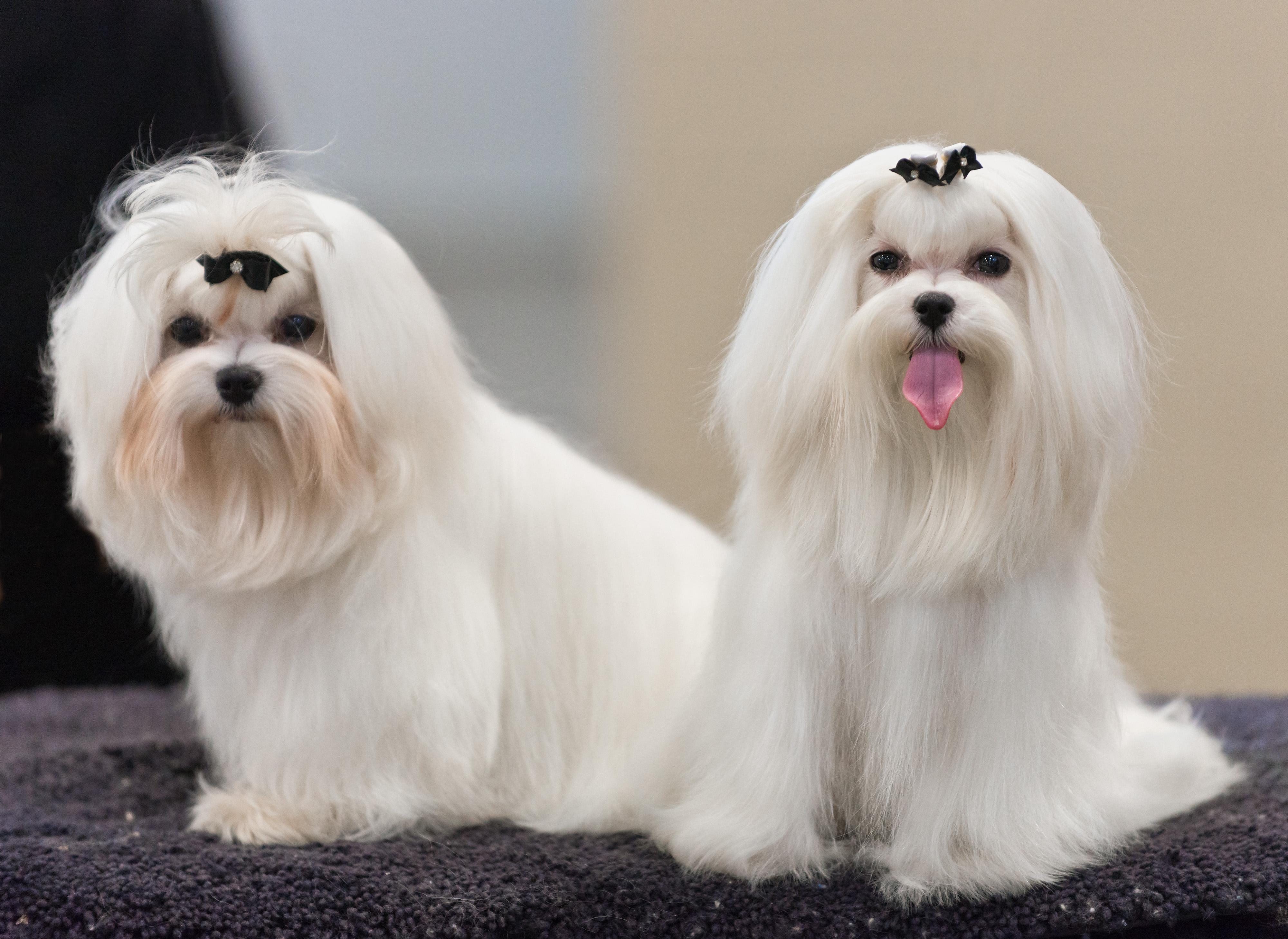 Malteses Maltese (dog) - wikipedia