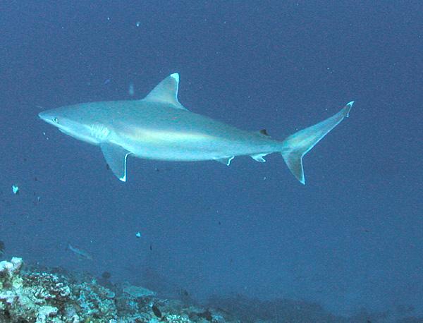 Carcharhinus albimarginatus