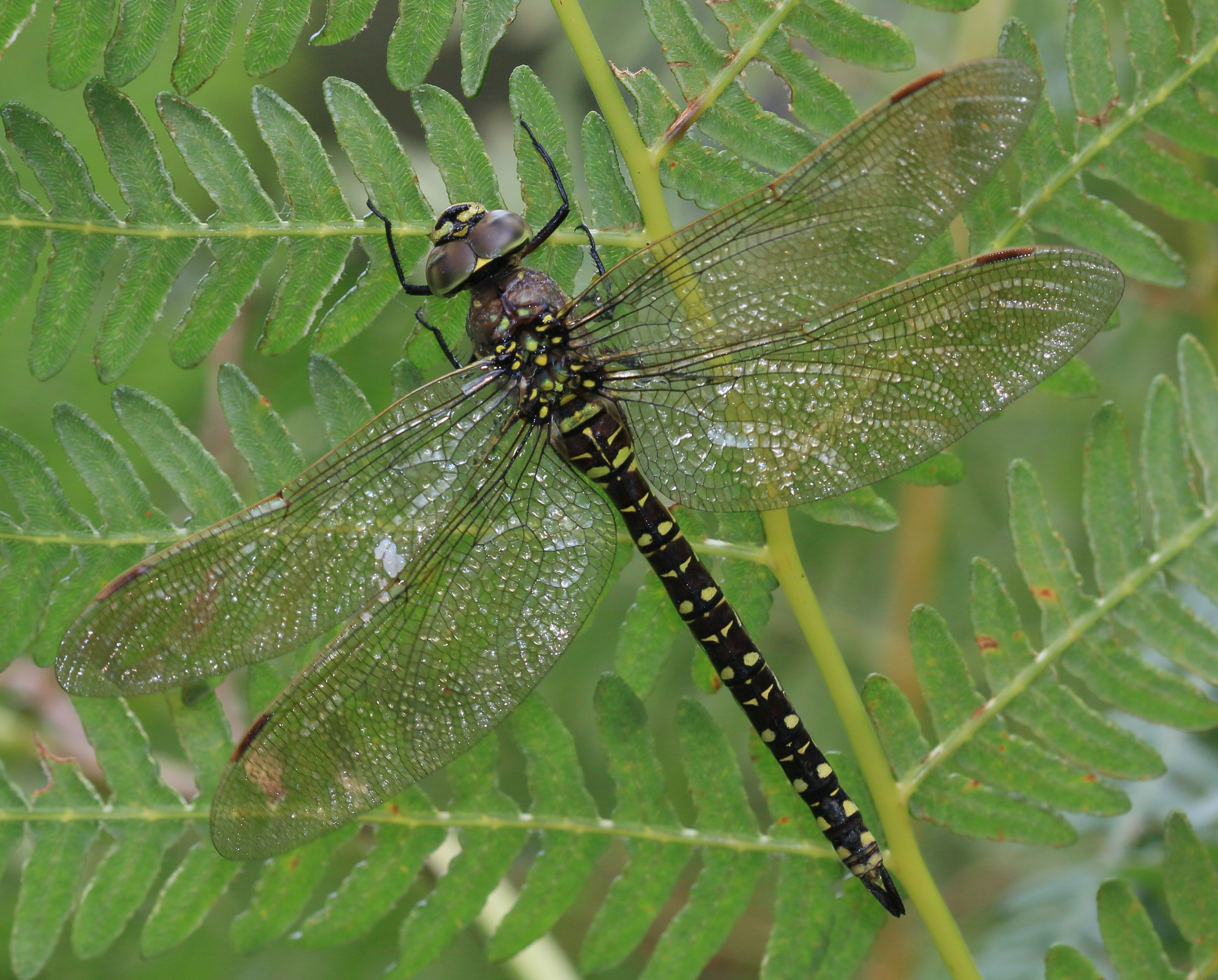 File:Aeshna juncea (Common Hawker) - female - Flickr - S. Rae (1).jpg -  Wikimedia Commons