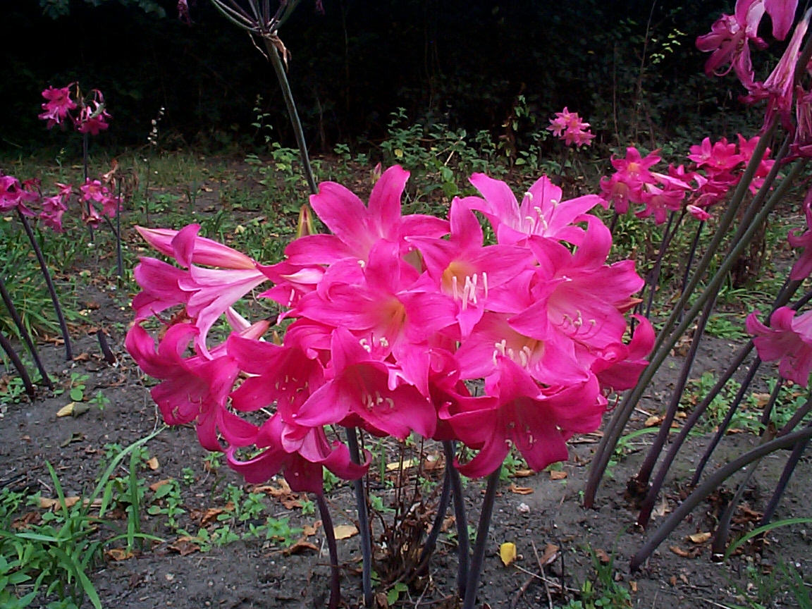 file amaryllis belladonna jpg wikimedia commons. Black Bedroom Furniture Sets. Home Design Ideas
