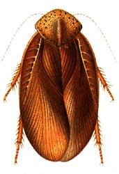 Apsidopis oxyptera.jpg