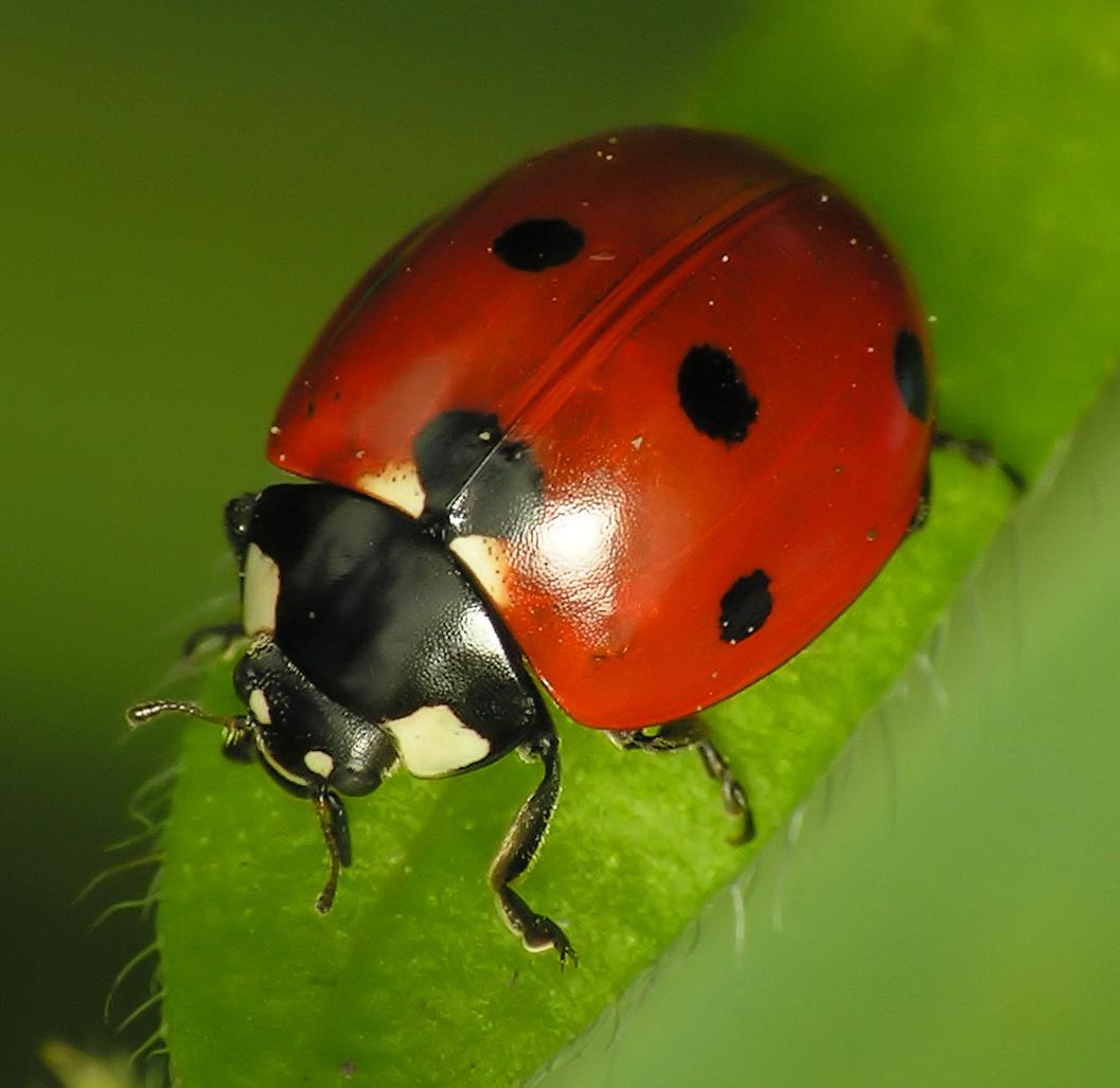 Zevenstippelig lieveheersbeestje wikipedia - Afbeelding in ...