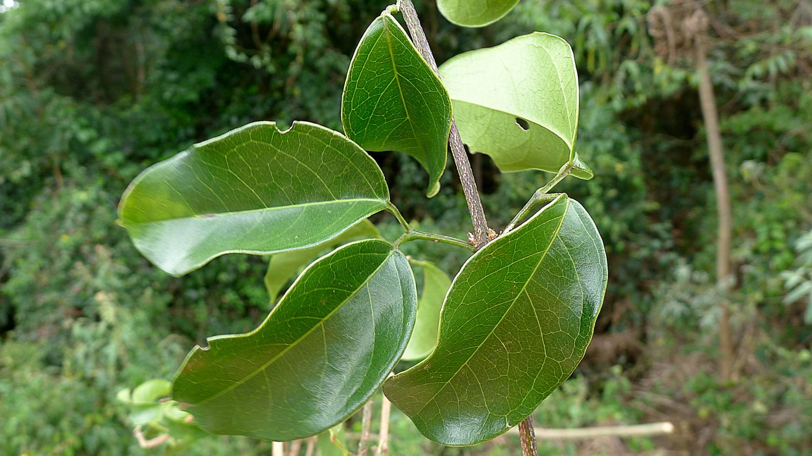 bignonia sciuripabula