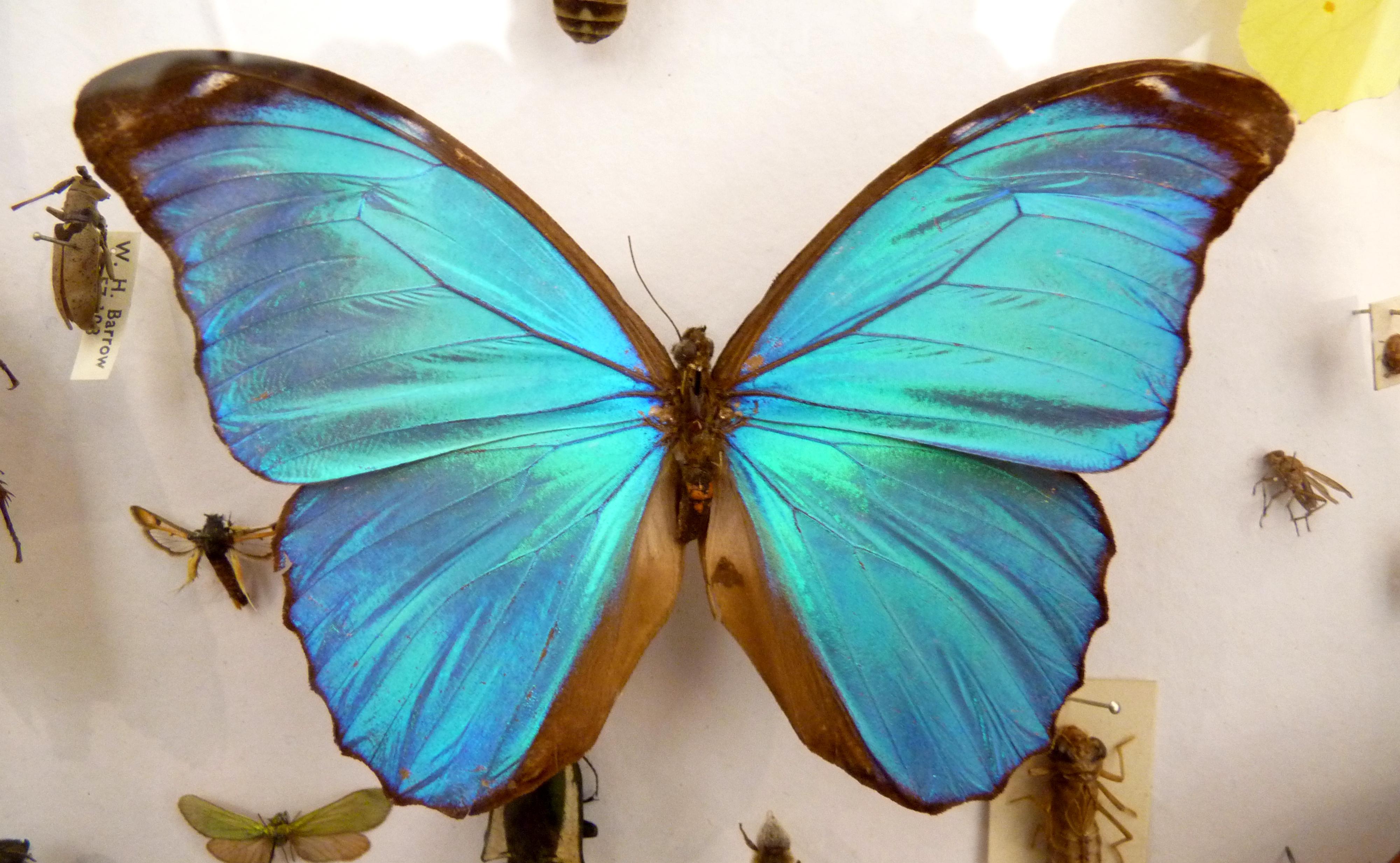 File Blue Morpho Didius Butterfly Jpg Wikimedia Commons