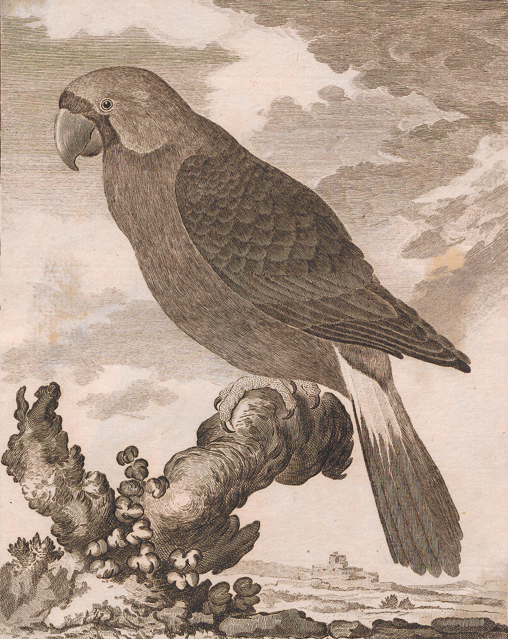Вымершие и уничтоженные виды попугаев и других птиц Buffon_Mascarinus