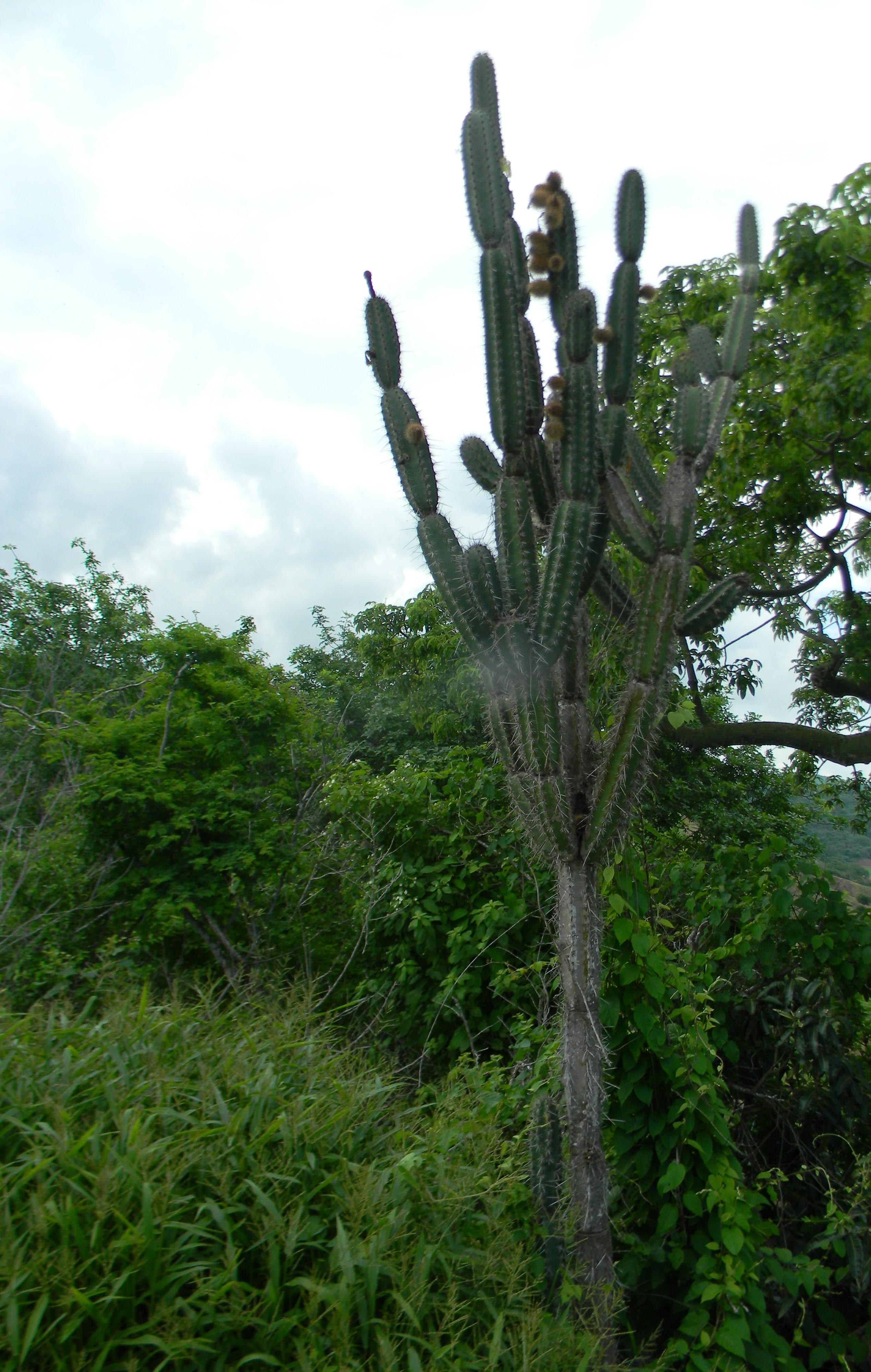 FileCactus de el Bosque Seco Tropicaljpg Wikimedia Commons