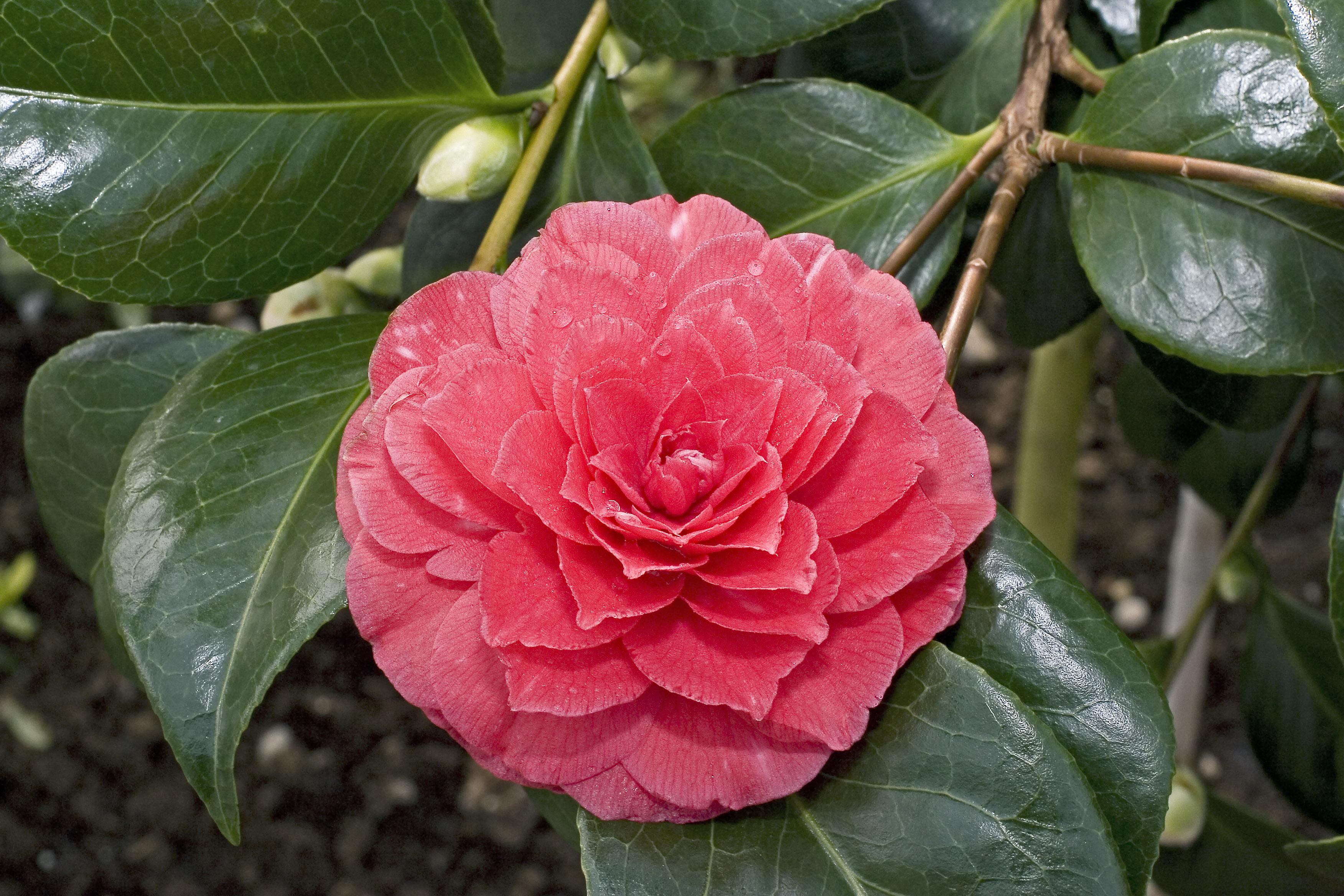 camellia japonica bing images. Black Bedroom Furniture Sets. Home Design Ideas