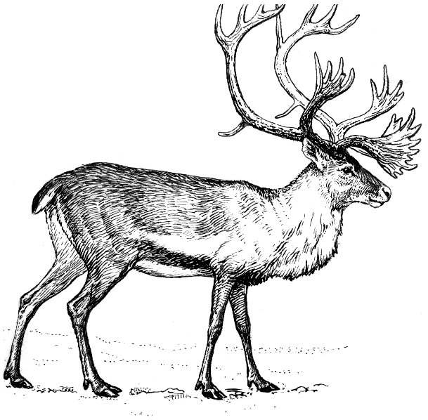 Image Result For Reindeer Coloring
