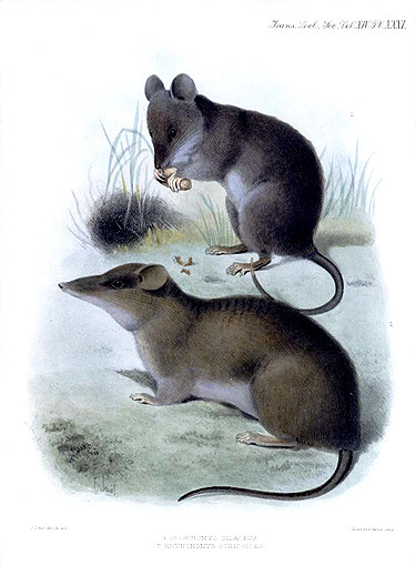 Celaenomys silaceus (top) and Rhynchomys soricoides, two species related to the two newly discovered species