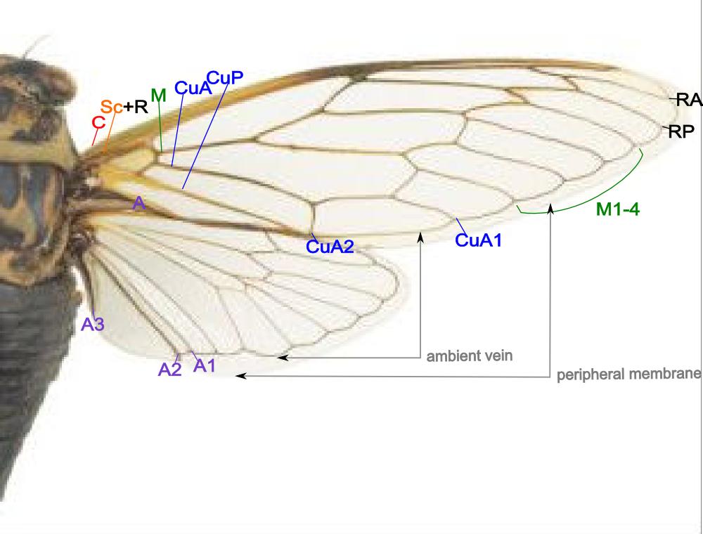 Locust Wings Diagram - DIY Wiring Diagrams •