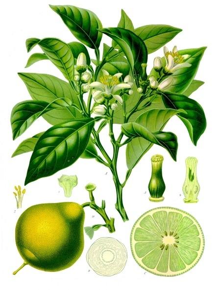 planche botanique du bergamotier