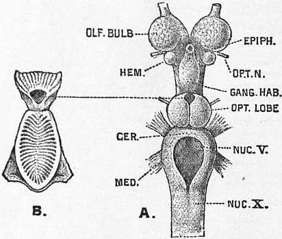 EB1911 Brain Fig. 16-Petromyzon marinus.jpg