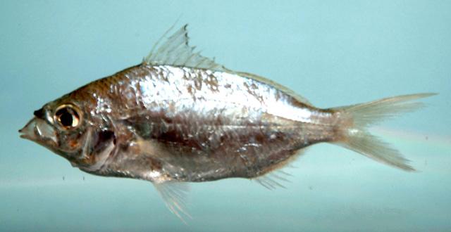 Eucinostomus gula.jpg © NOAA\NMFS\Mississippi Laboratory