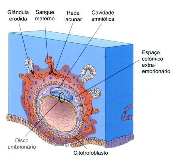 File:Final da implantação do blastocisto.png - Wikimedia Commons