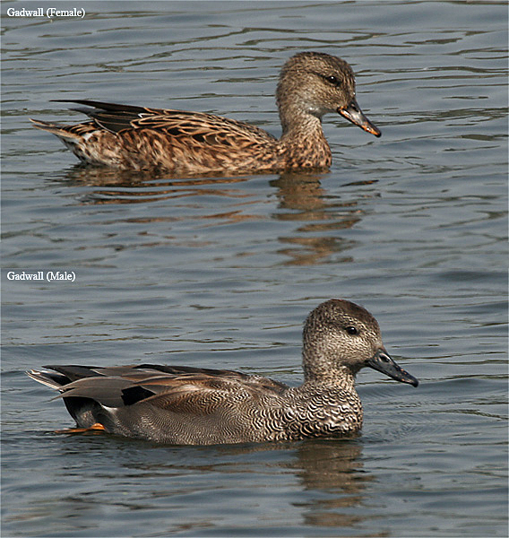 Gadwall   Animal and the Partner