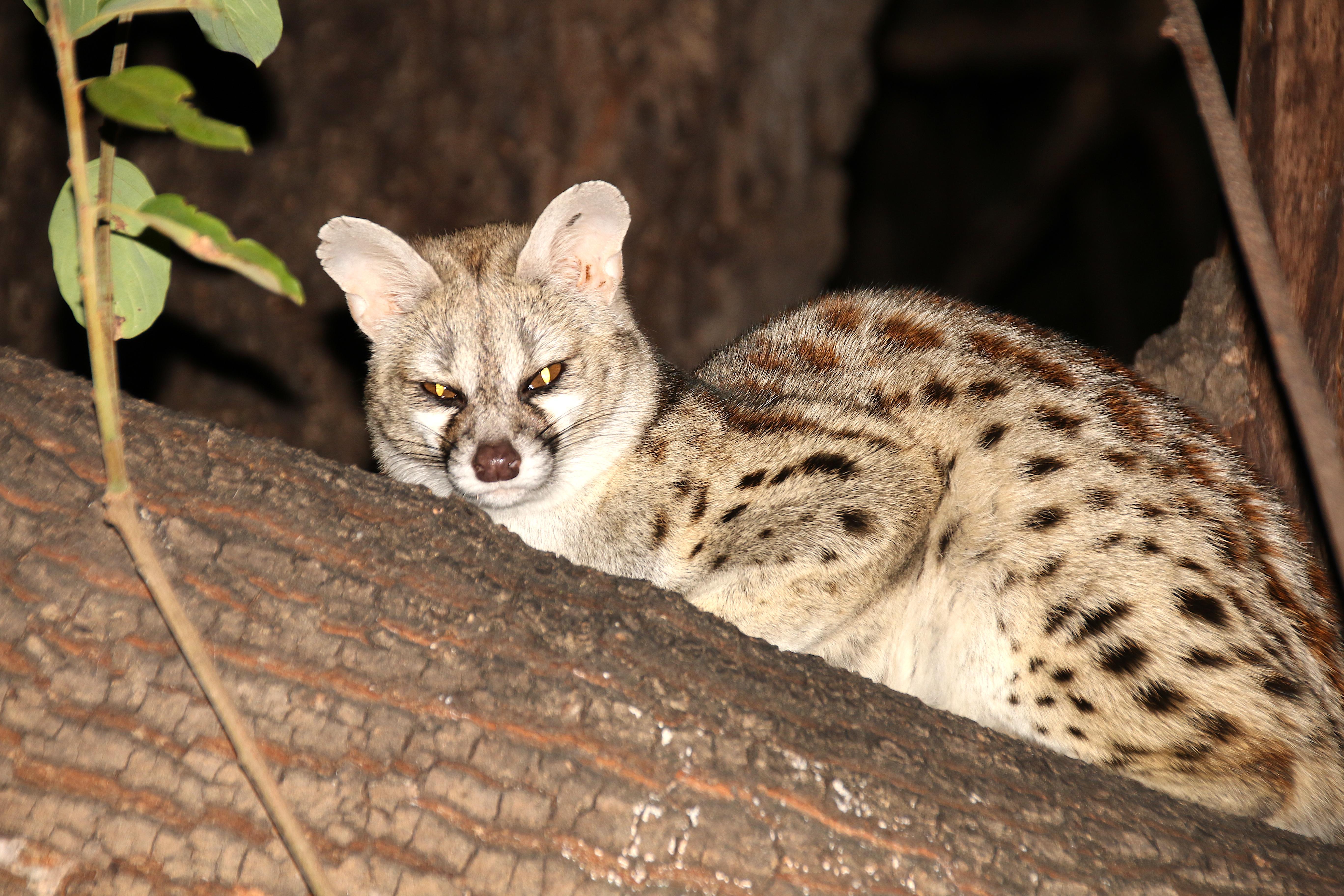 Genet (animal) - Wikipedia