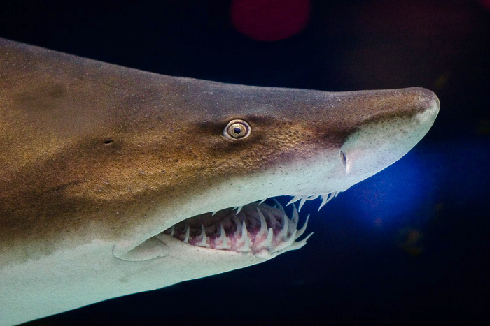 Grey nurse shark 2 サメがサメを食べる瞬間に釣り上げられる!