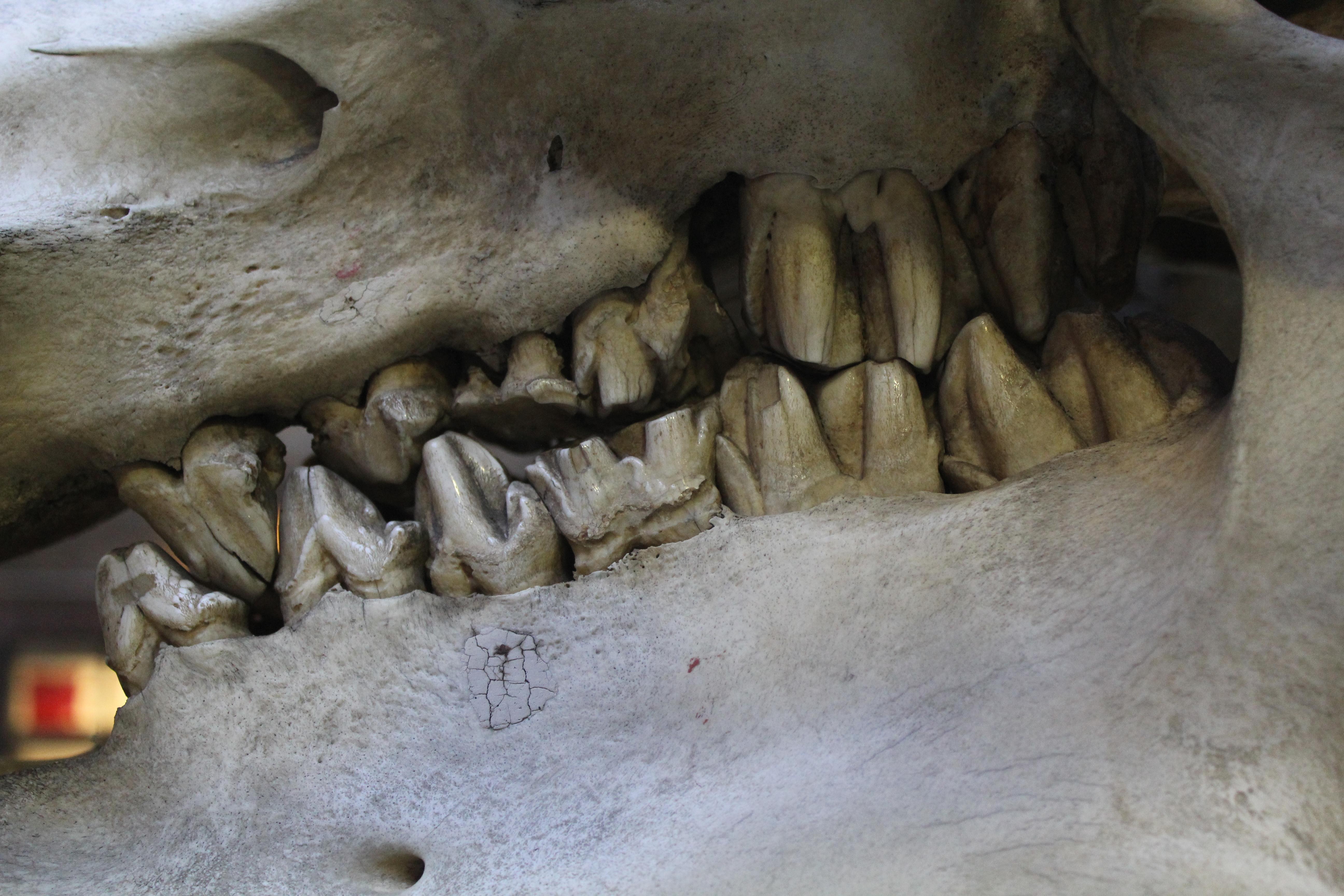 File:Hippopotamus skull teeth 2 (Hippopotamus amphibius) at the ...