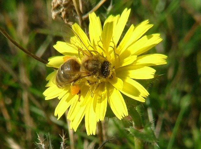 Honey bee on bristly ox tongue at Minet Country Park - geograph.org.uk - 93716