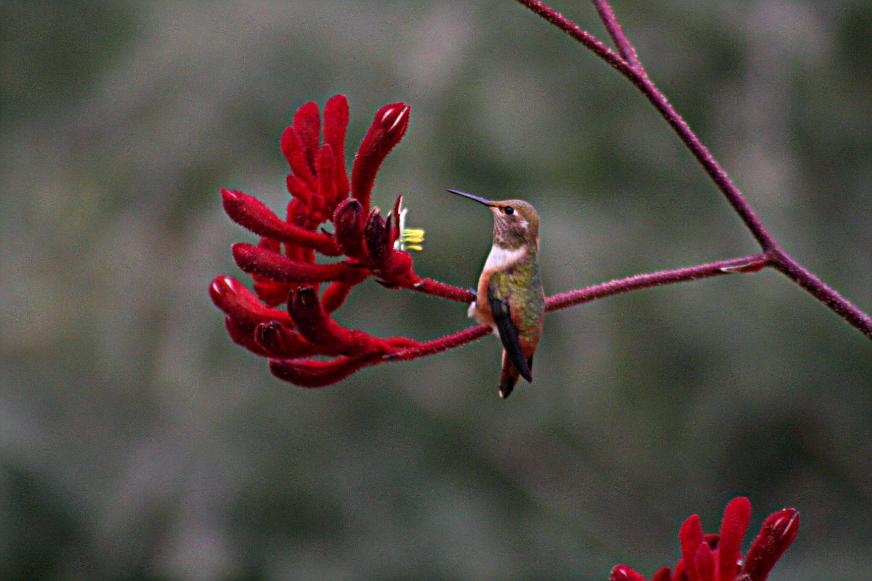File Hummingbird and his flower11