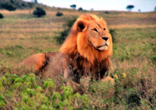 Kenya Lion File lion in kenya jpg