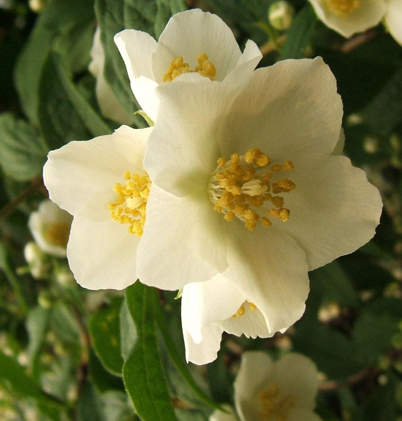 File Mockorangeflowers Jpg