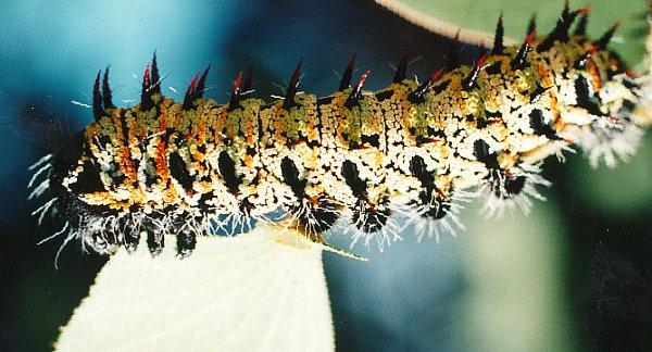 File:Mopane Worm by Arne Larsen.jpg