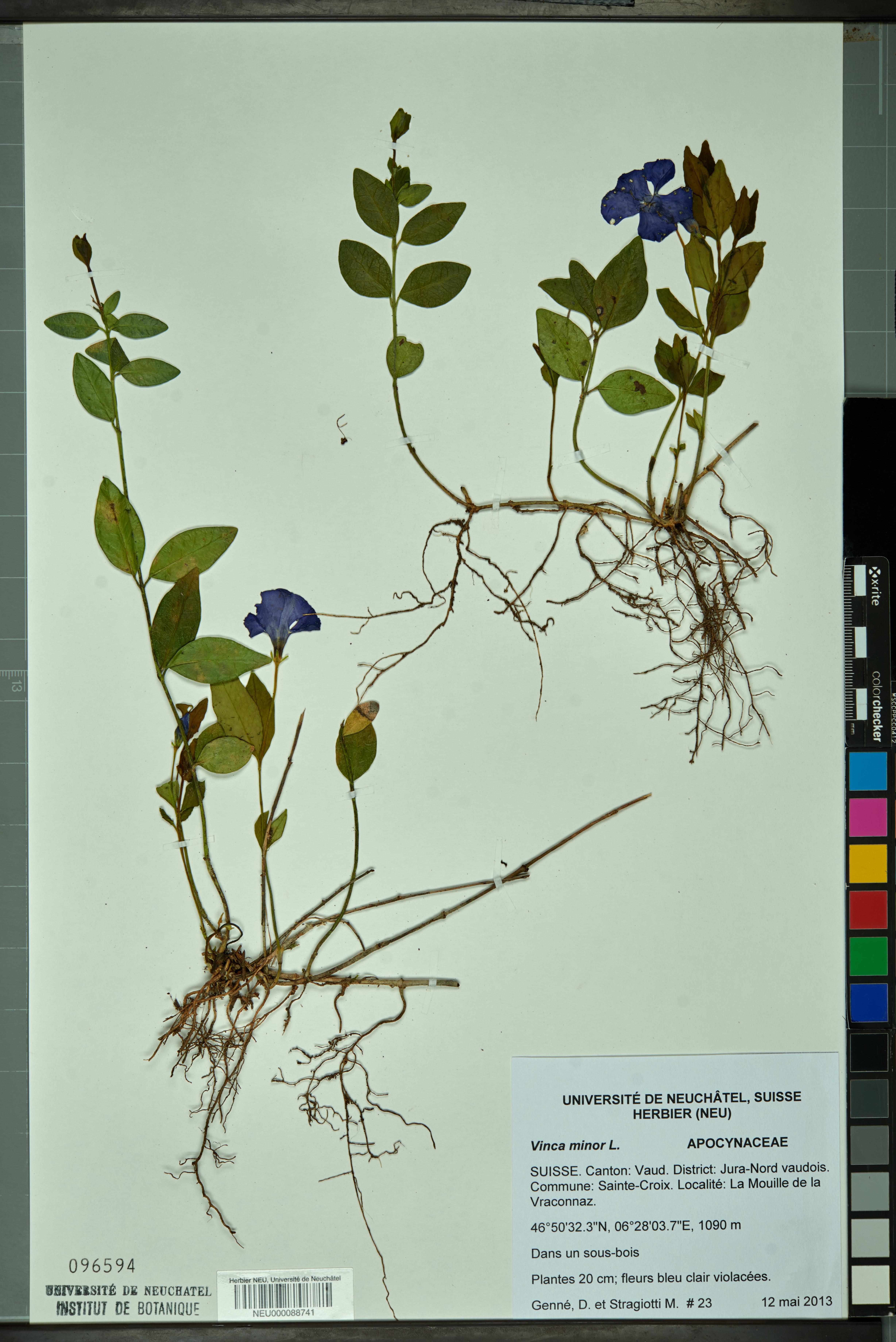 Fleur De Sous Bois Bleue file:neuchâtel herbarium - vinca minor - neu000088741