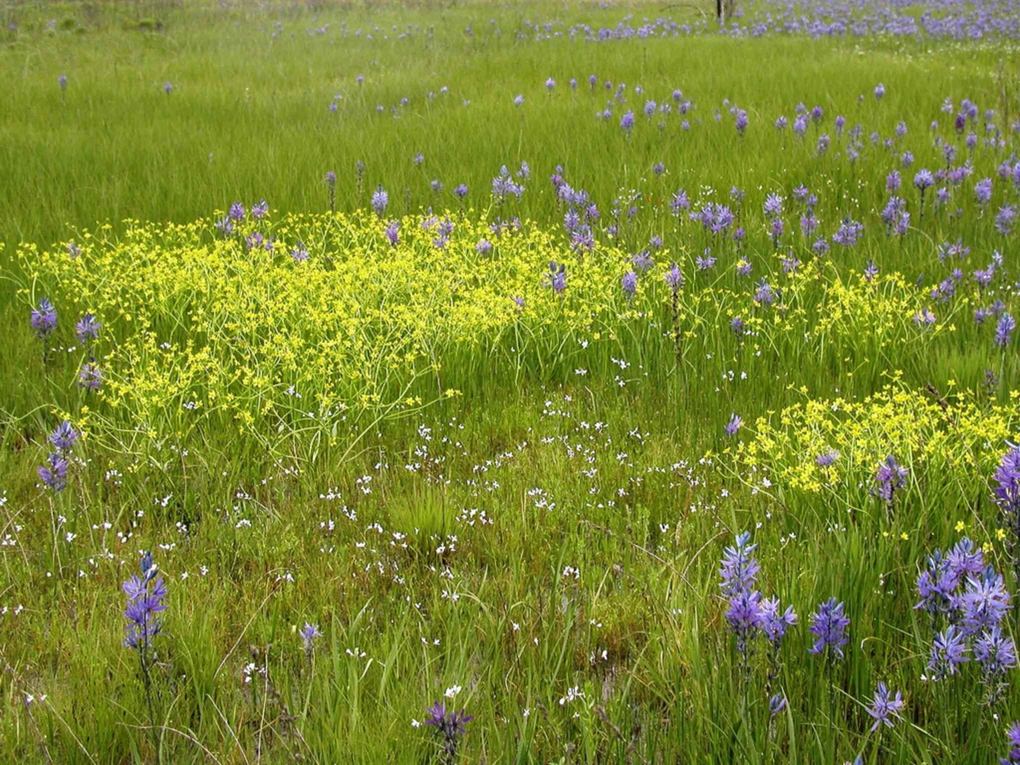 File north prairie camas and buttercup flowers in grass on for Grass flower