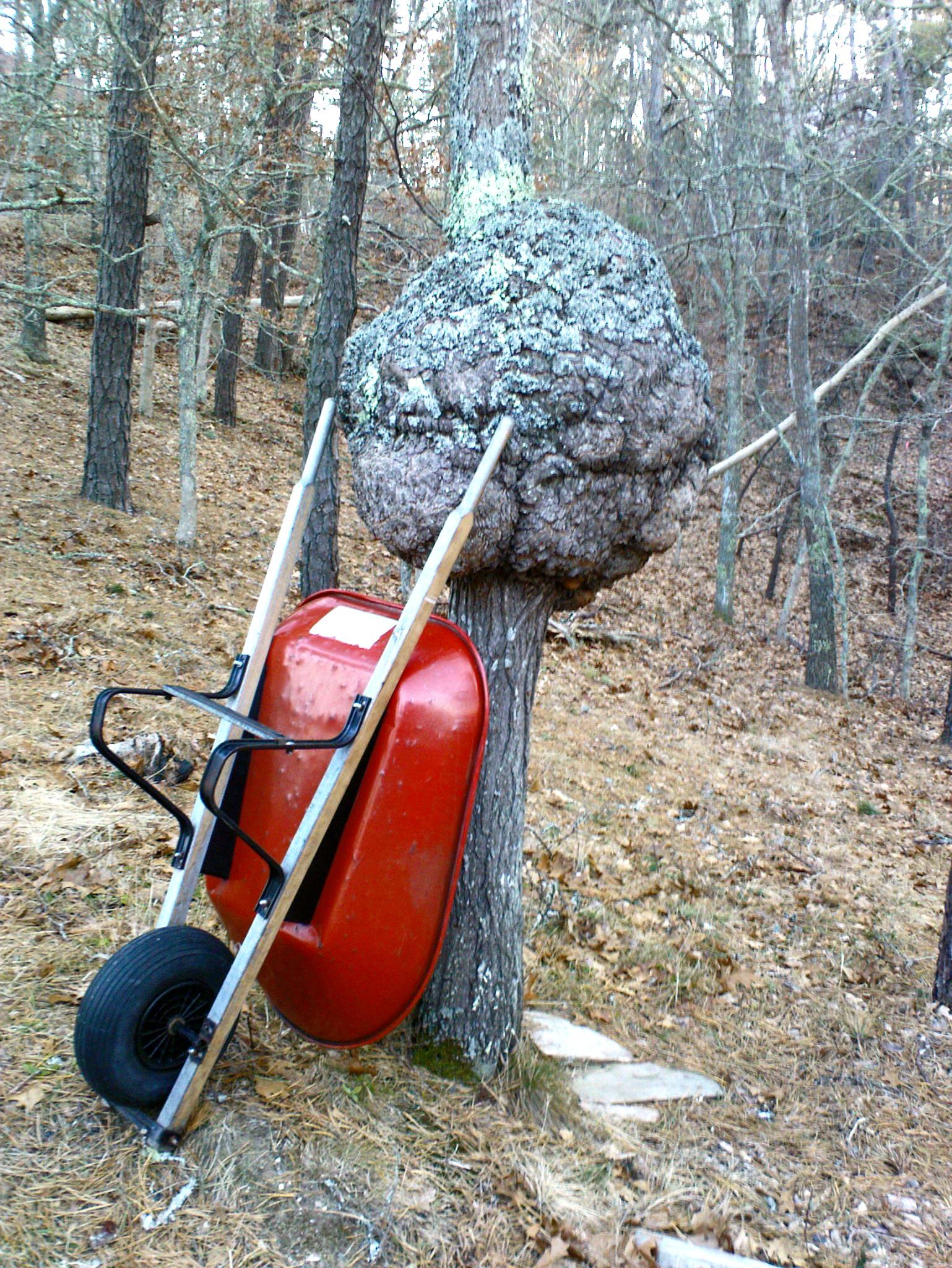 """Por que a inexistência de """"burl"""" em madeiras brasileiras? Oak_burl_wheelbarrow"""