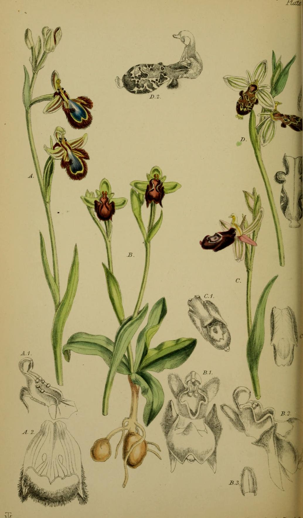 https://upload.wikimedia.org/wikipedia/commons/c/cc/Ophrys_speculum_-_O._bombyliflora_-_O._bertolonii_-_O._insectifera_-_Moggridge_-_Flora_of_Mentone_pl._72_(1871).jpg