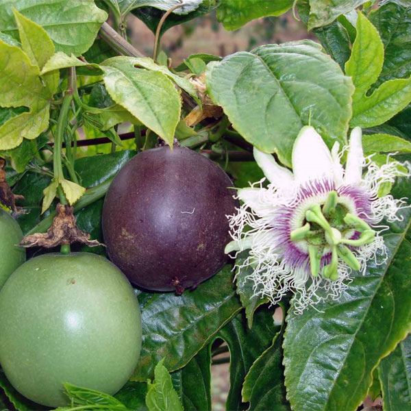 passion fruit plant is fruit healthy for breakfast