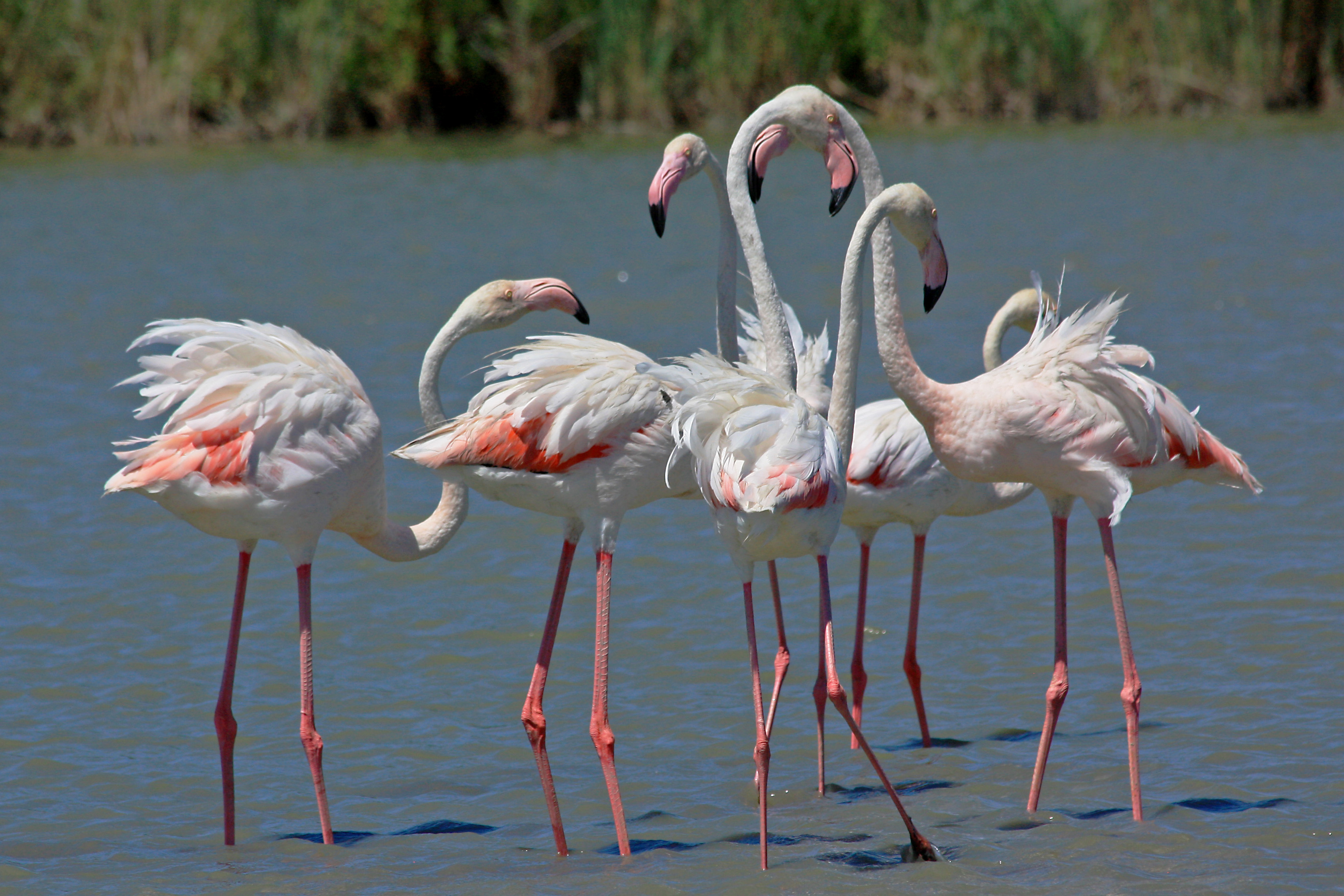 file phoenicopterus roseus camargue wikimedia commons. Black Bedroom Furniture Sets. Home Design Ideas
