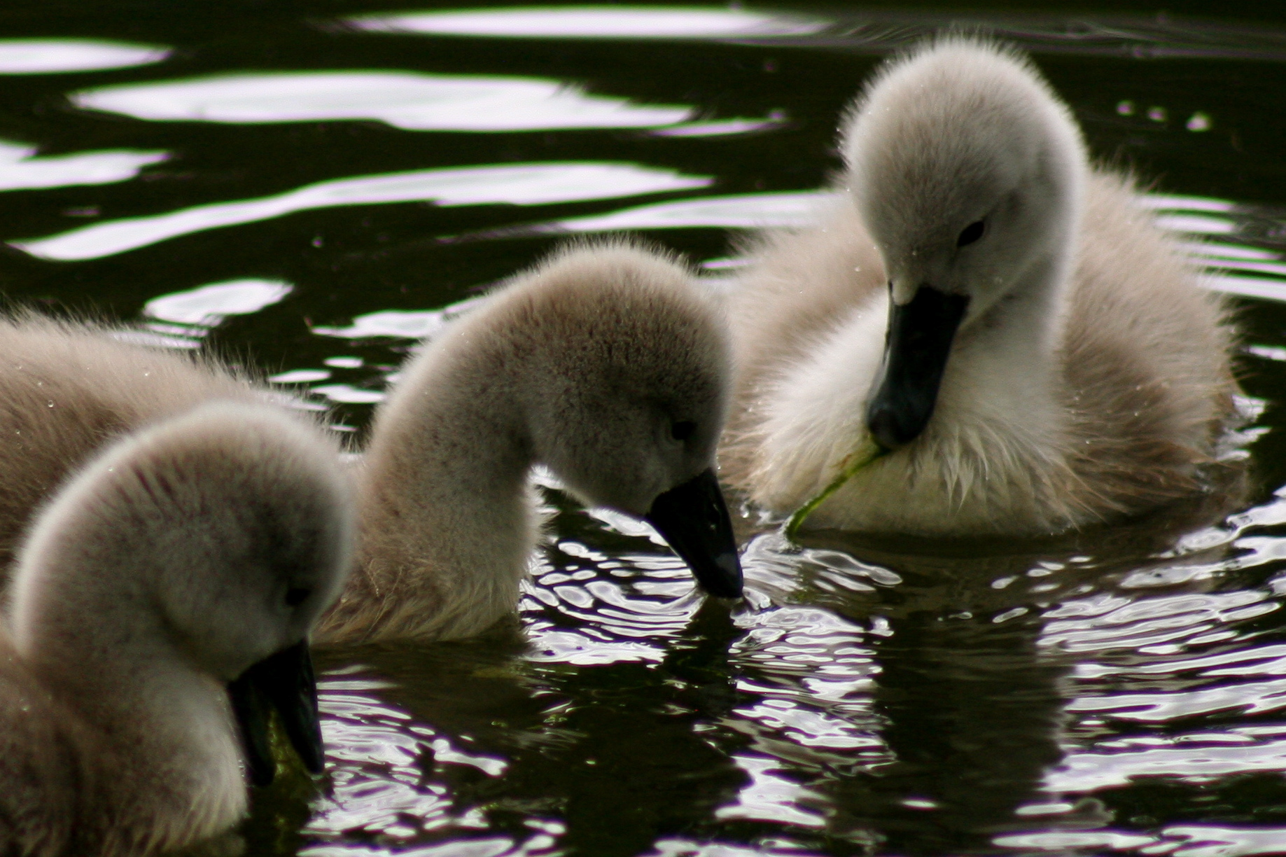 File:Photojenni - Cute baby swan (by).jpg - Wikimedia Commons