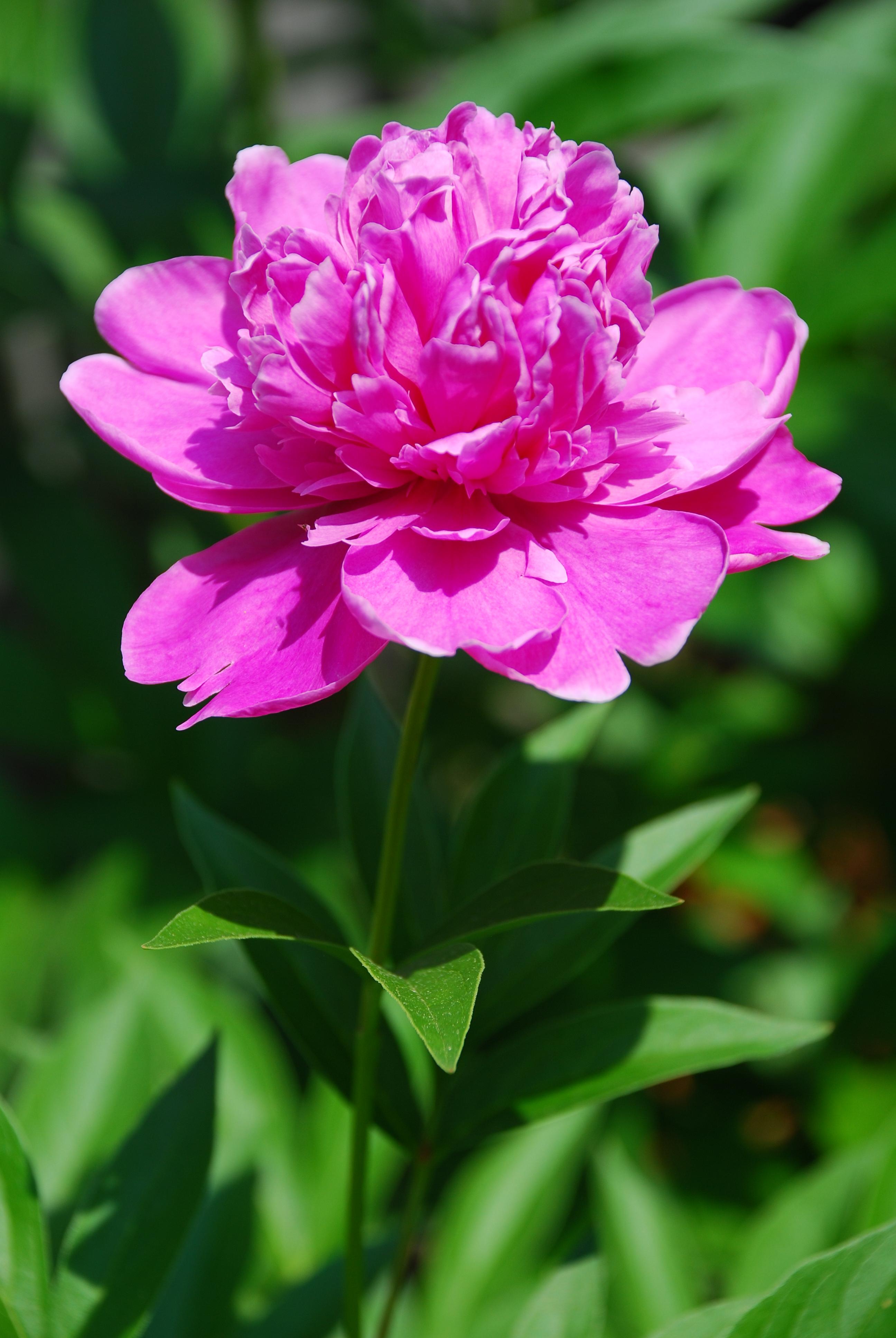 ... Chinese bellflower , peacock flower (aka aster) and pink peonies
