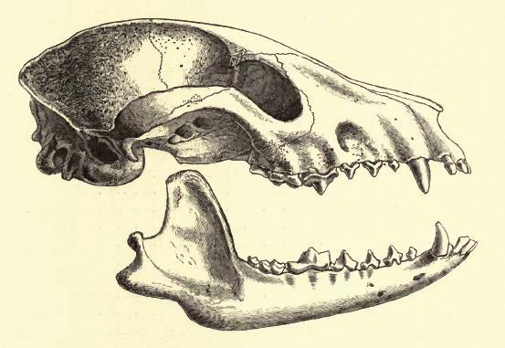 Racoondogskull