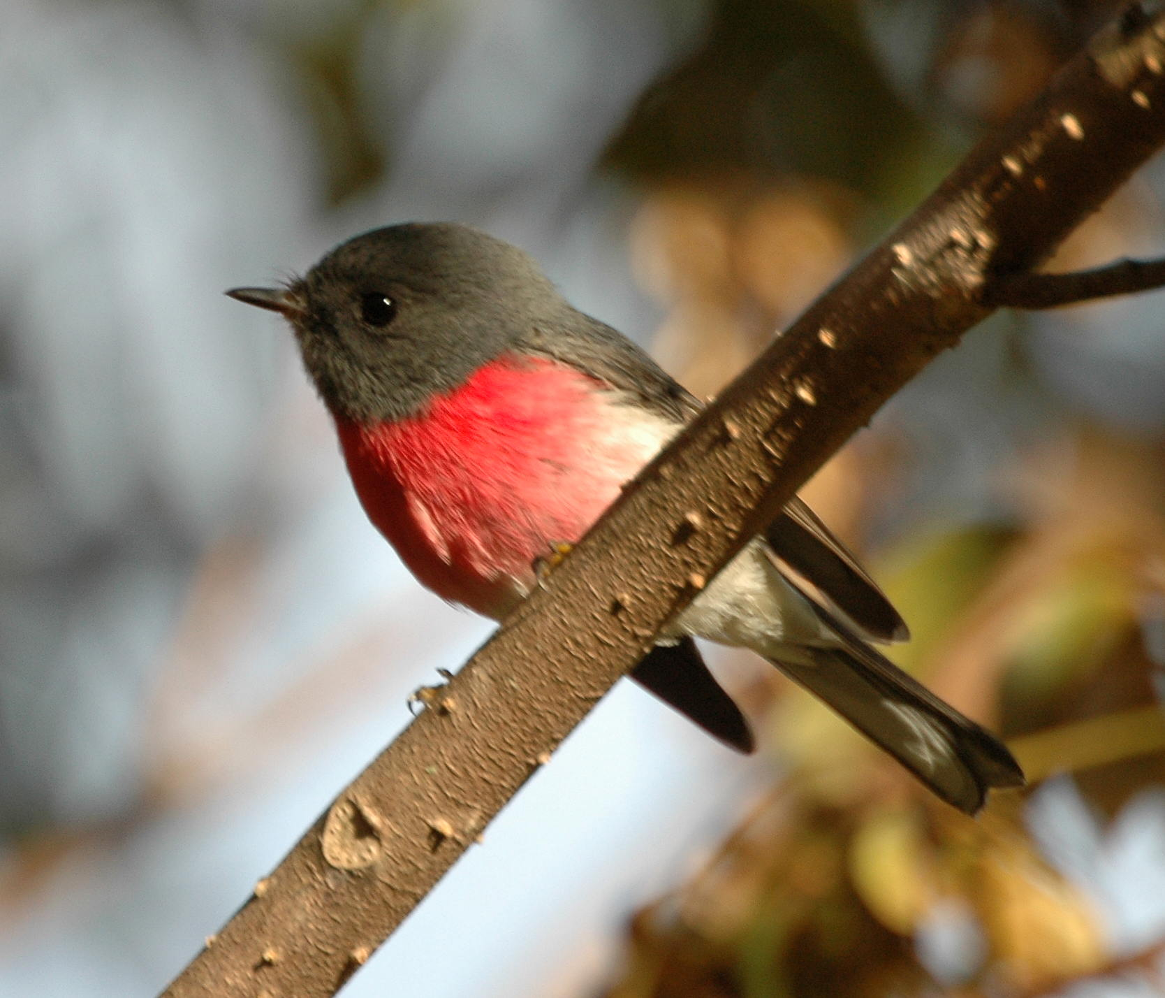 list of birds of queensland wikipedia