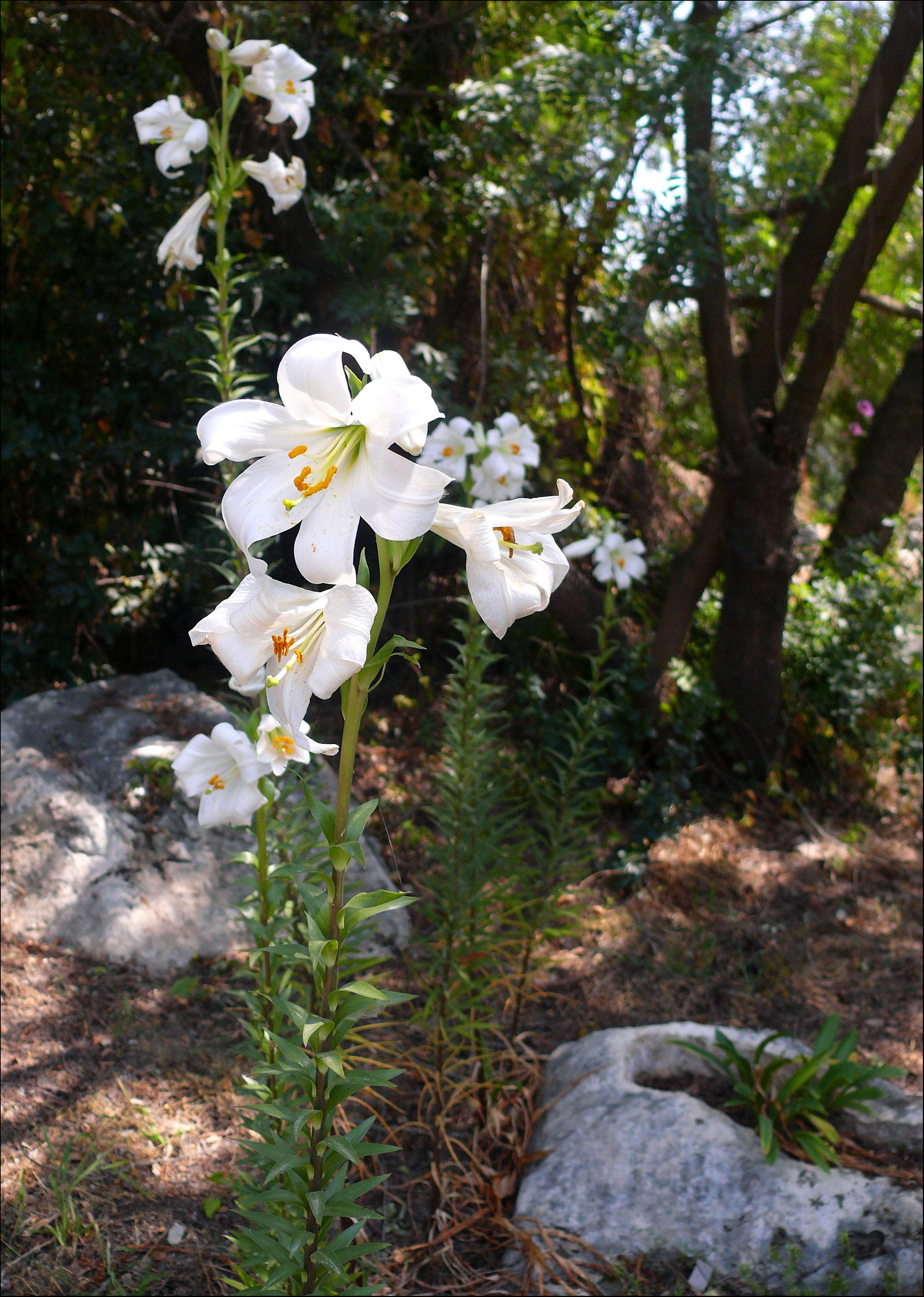 weiße lilie bedeutung