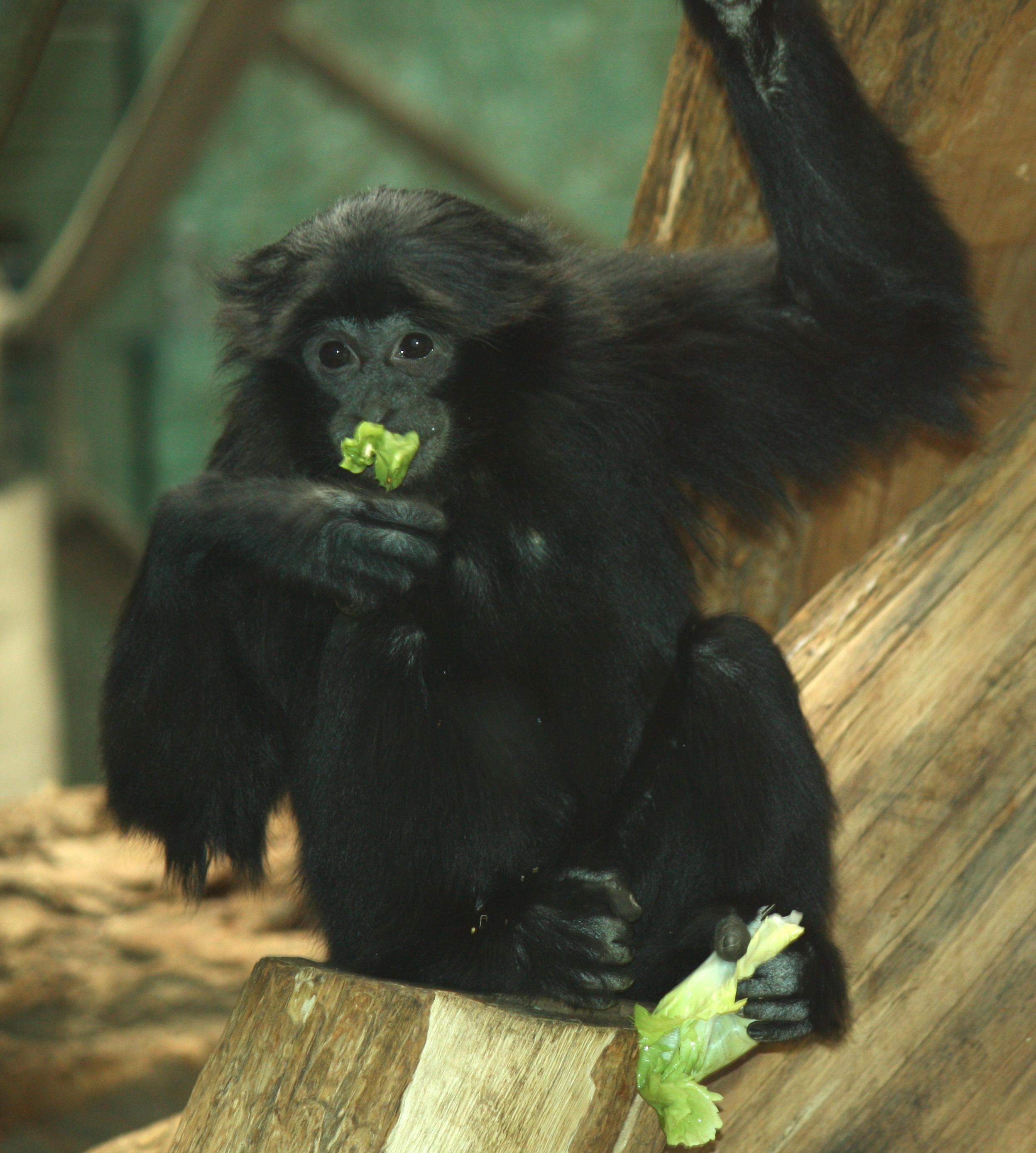 Siamang Sahabat Orangutan