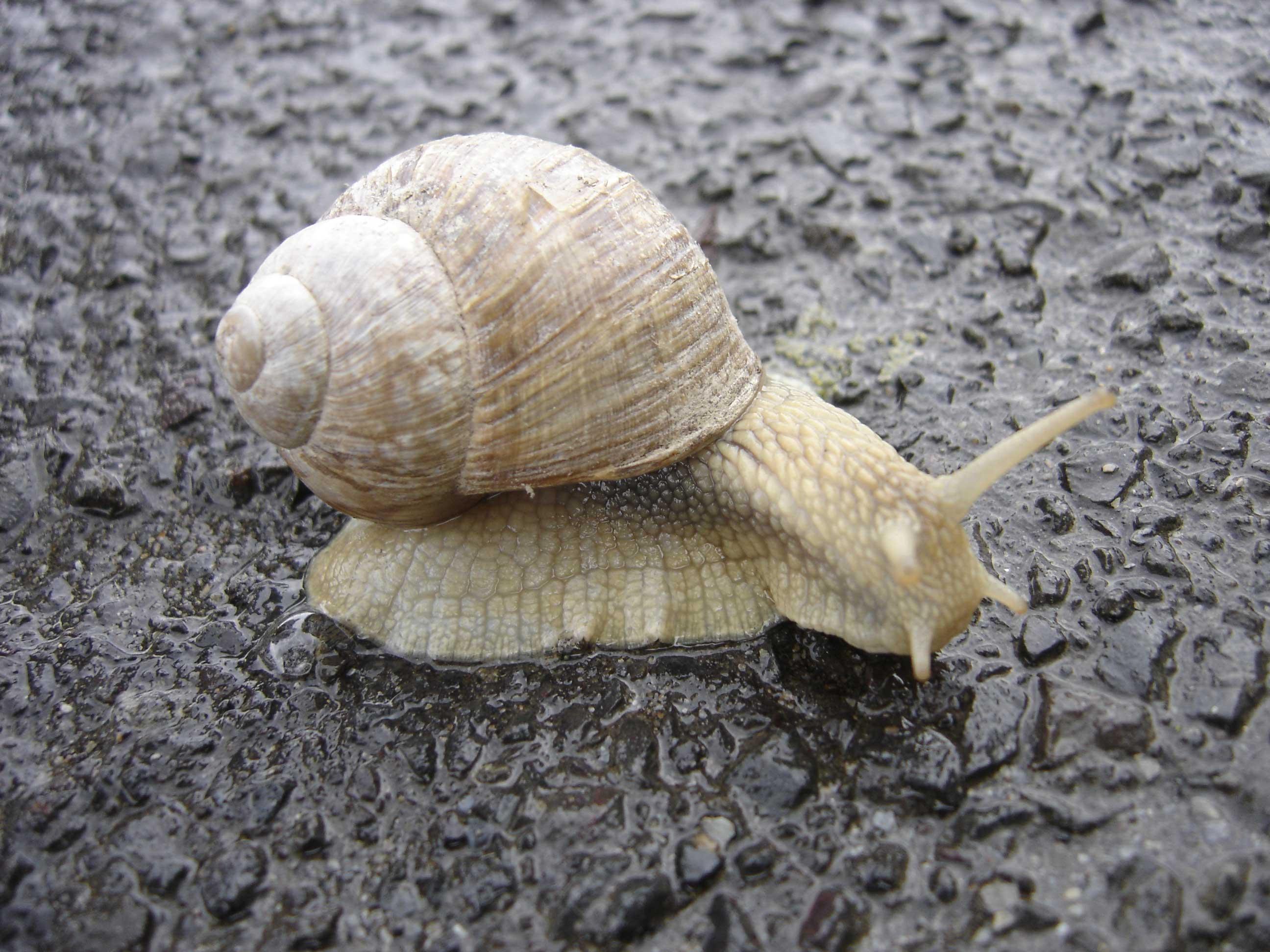 Snail Wikipedia