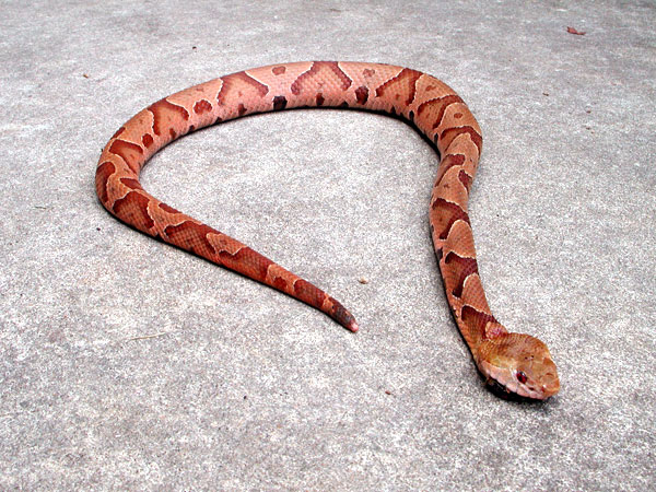 American Copperhead