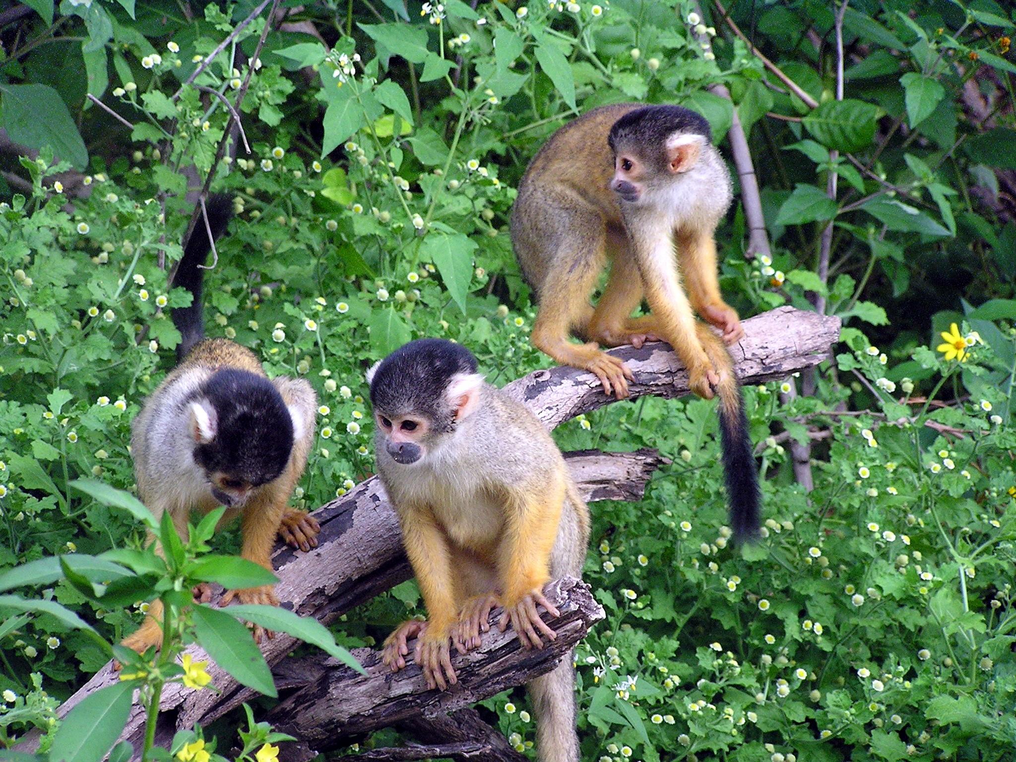 Squirrel monkeys in trees - photo#10