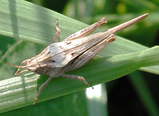 Sprinkhanen en krekels de sprinkhanen en de krekels zijn insecten die goed kunnen springen we noemen deze familie ook wel de rechtvleugeligen hij heeft een meestal groene of altavistaventures Images