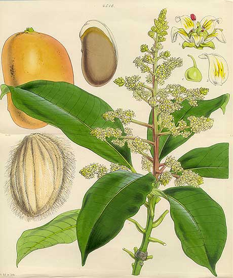 Depiction of Mangifera indica