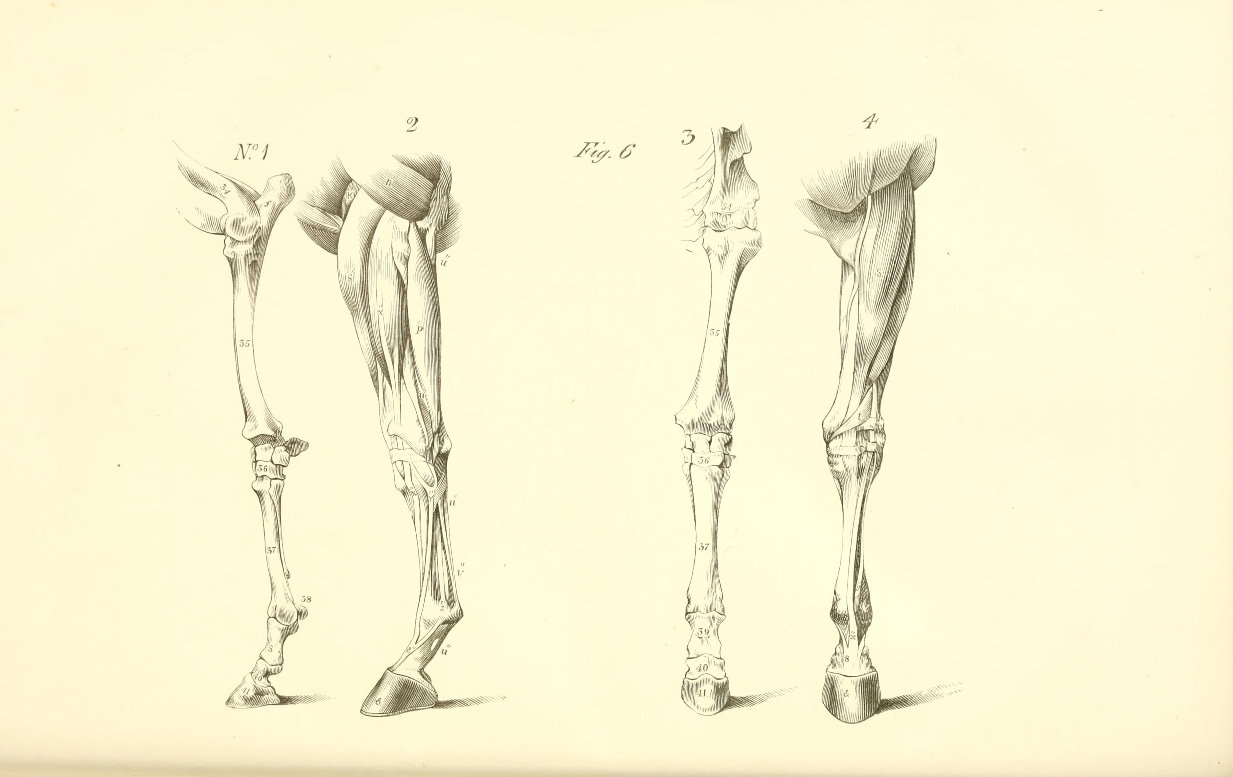 File:The anatomy and physiology of the horse BHL19829911.jpg ...