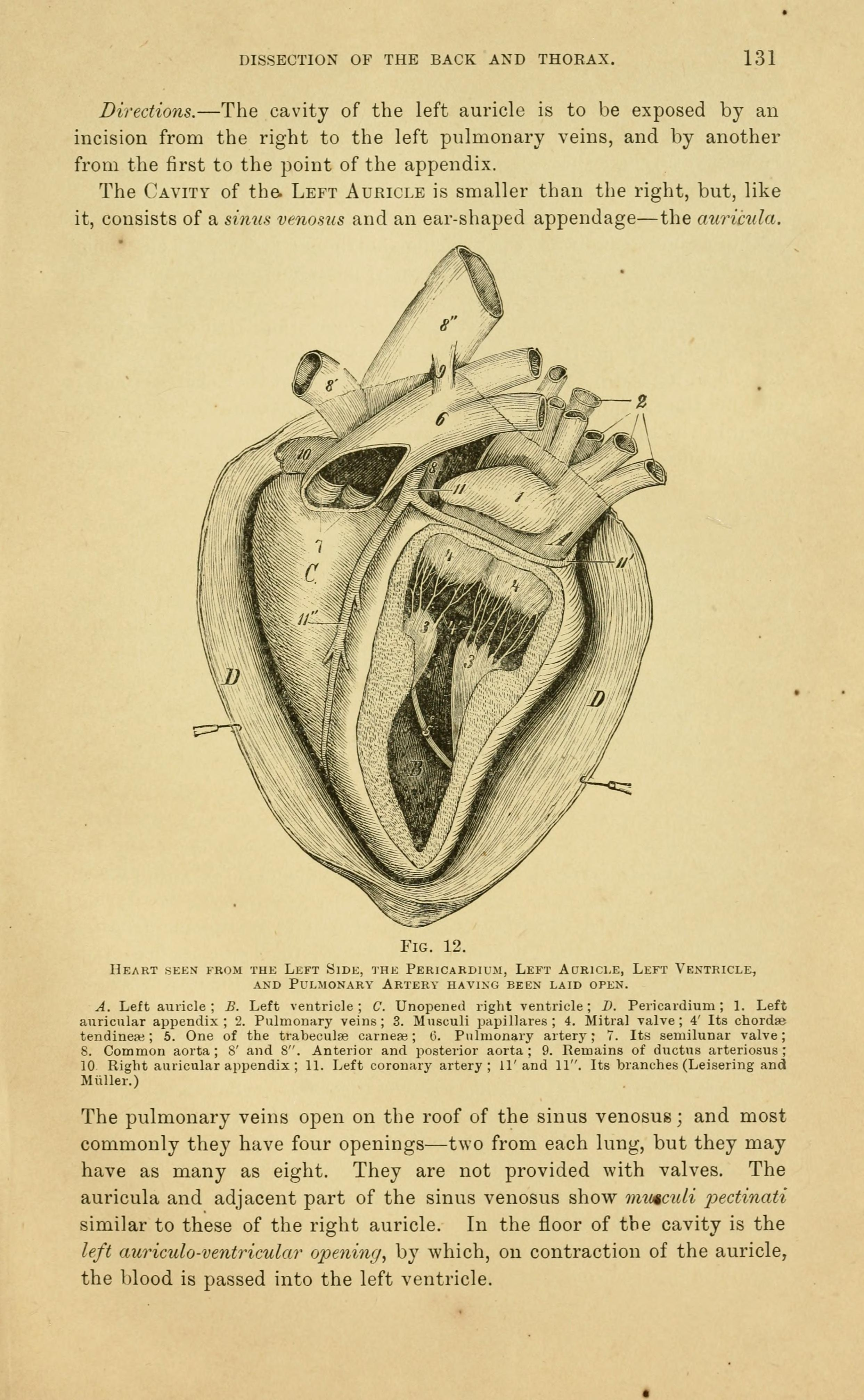 File:The anatomy of the horse (Page 131) BHL19829528.jpg - Wikimedia ...