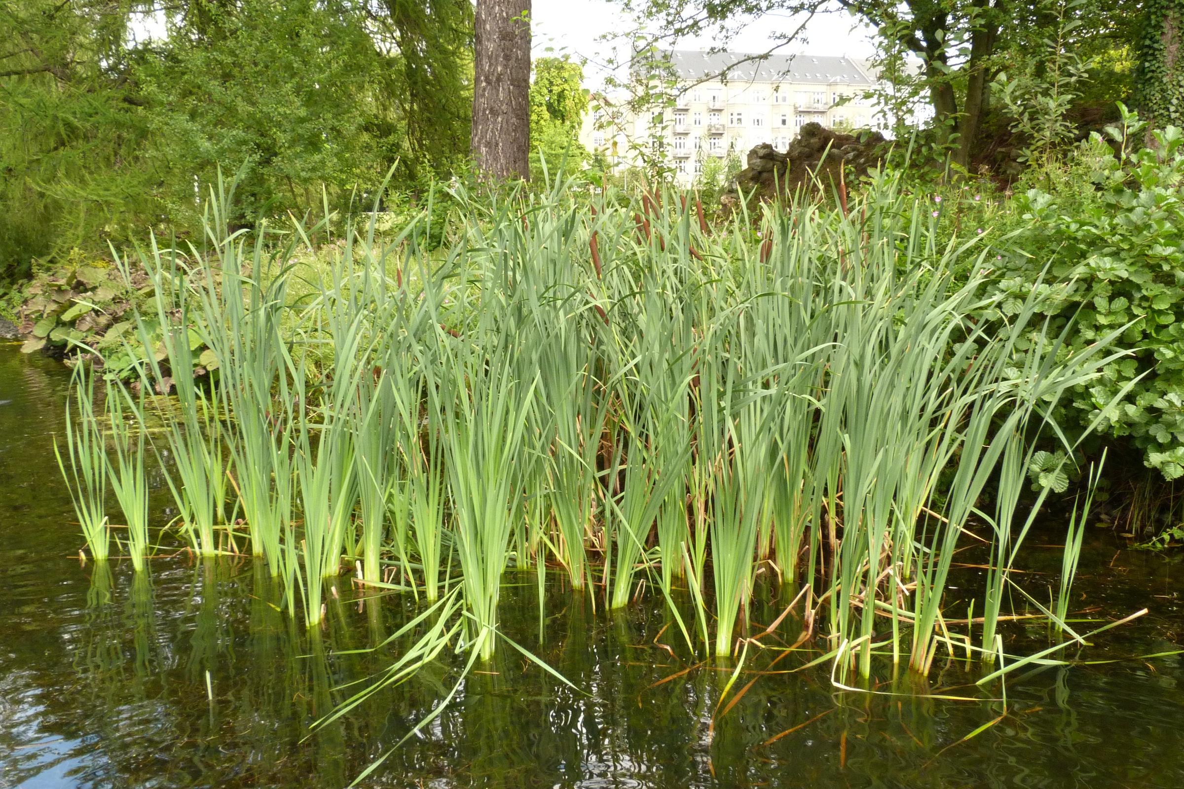 File typha latifolia 7914510810 jpg wikimedia commons for Waterside plants