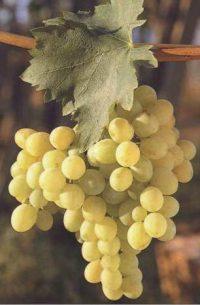 Uva da tavola di canicatt wikipedia - Piante uva da tavola ...